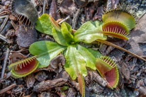 Winter senescence in a Venus fly trap.  Photo credit: Neill Prohaska