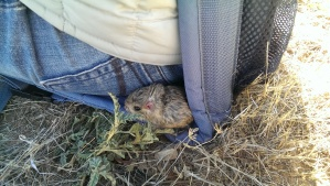 It was still cold enough that this Merriam's kangaroo rat wanted to huddle next to a researcher to stay warm after being released.
