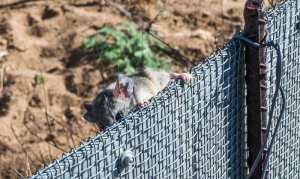 One last photo: a cactus mouse (Peromyscus eremicus) that was released and immediately climbed the fence supposed to keep the rodents larger than that out. Let's hope the kangaroo rats are less bold.