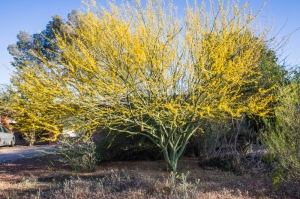 A good year for palo verde trees is a bad year for allergy sufferers.