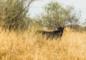 A cow standing in a converted buffel grass pasture. I took this photo while visiting Alberto last year, near one of his study sites outside Hermosillo.