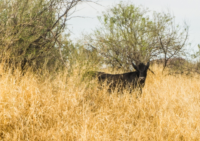 A cow standing in a converted buffel grass pasture. I took this photo while visiting Alberto last year, near one of his study sites outside Hermosillo. Photo By Pacifica Sommers from her Blog on the subject check it out goo.gl/2UK6Vh