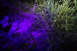 A cache of seeds fluorescing under a UV flashlight where they are hidden in a dense bunch of invasive grass.