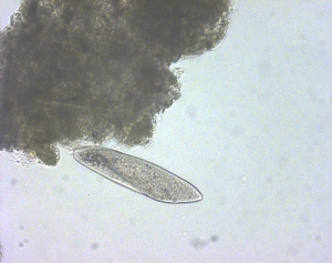 Paramecium multinucleatum, a single-celled animal